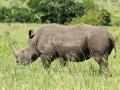 Neushoorn | Krugerpark, Tamboti, 2012