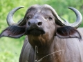 Buffel | Krugerpark, Punda Maria
