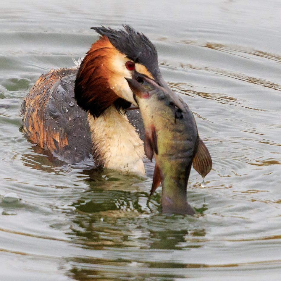 Fuut eet vis | Zevenhuizerplas, 28 maart 2019
