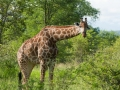 Giraffe |Krugerpark, 5 januari 2008
