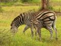 Zebra | Krugerpark, 9 januari 2008