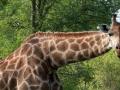 Giraffe | Edeni Game Reserve, 2 januari 2008