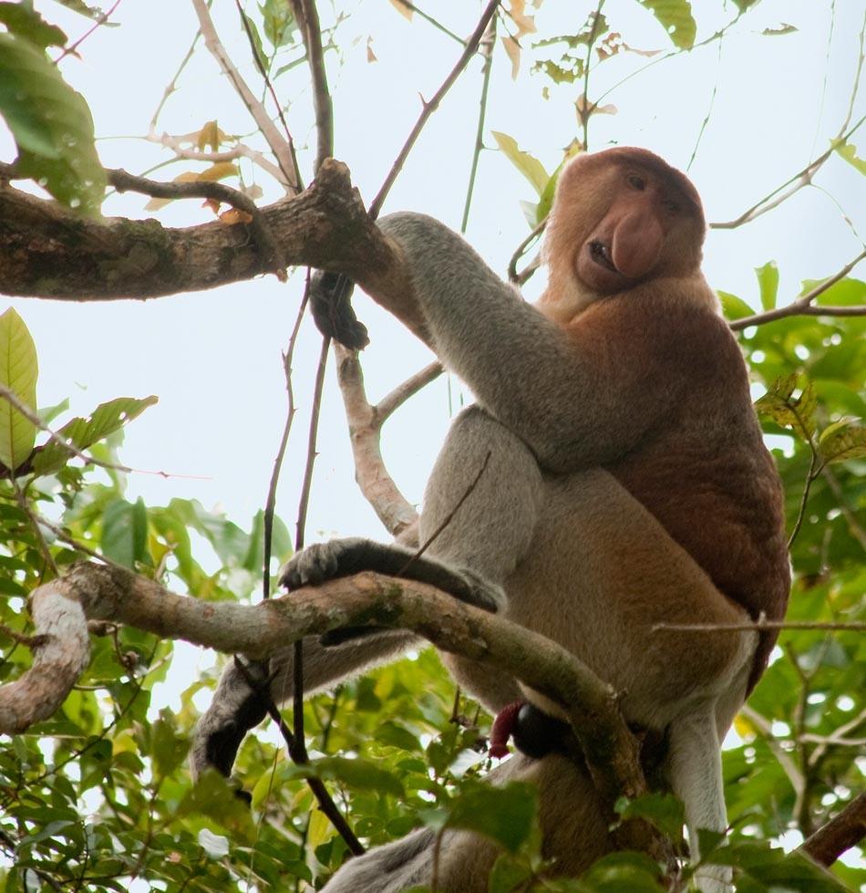Neusaap   Borneo, 7 juni 2009