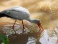 vogel-maleisie