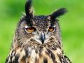 Europese Oehoe - Berkel en Rodenrijs, 21 mei 2012