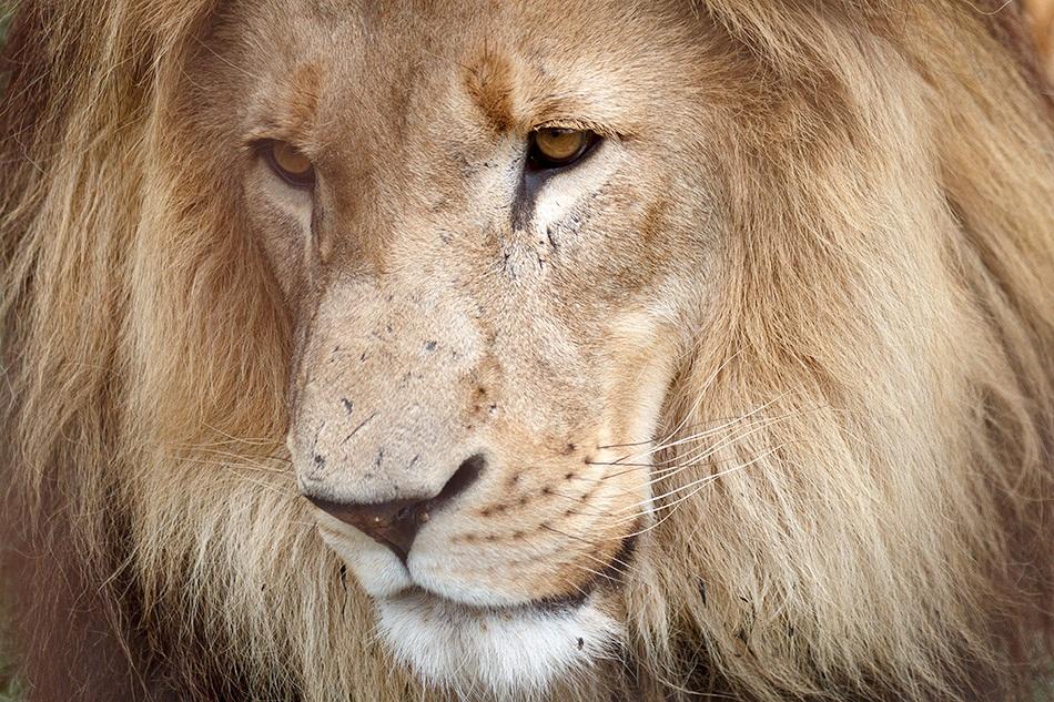Leeuw | Krugerpark