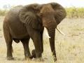 Olifant   Krugerpark, Letaba Restcamp – 23 november 2014