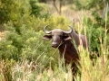 Buffel | Phalaborwa, Rivier Safari - 27 november 2014