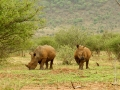 Neushoorn | Krugerpark, Lower Sabie restcamp – 19 november 2014