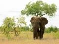 Olifant   Krugerpark, Lower Sabie restcamp – 19 november 2014