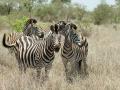 Zebra | Krugerpark, Satara restcamp – 20 november 2014