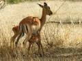 Antilope | Krugerpark, Satara restcamp – 21 november 2014