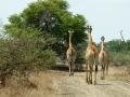 Giraffen | Krugerpark, Satara restcamp – 21 november 2014