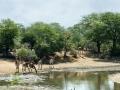 Giraffen   Krugerpark, Satara restcamp – 22 november 2014