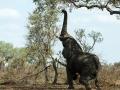 Olifant   Krugerpark, Satara restcamp – 22 november 2014