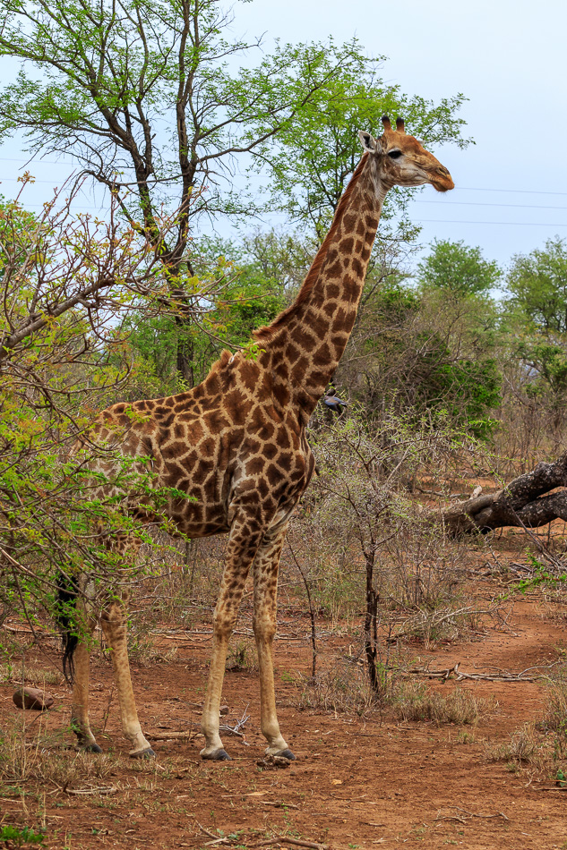 Giraffe  | Karongwe Game Reserve, 20 december 2018