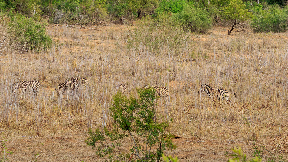 Zebra's | Karongwe Game Reserve, 20 december 2019