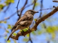 Kaapse vliegenvanger| Karongwe Game Reserve, 20 december 2018