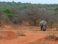 Neushoorn | Karongwe Game Reserve, 20 december 2018