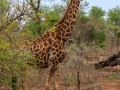 Giraffe  | Karongwe Game Reserve, 20 december 2018