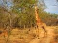 Giraffe    Karongwe Game Reserve, 20 december 2018