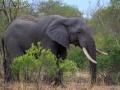 Olifant    Karongwe Game Reserve, 20 december 2018