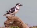 Bonte Ijsvogel   Karongwe Game Reserve, 21 december 2018