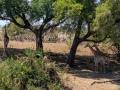Giraffen in de schaduw   Krugerpark, 21 december 2018