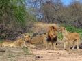Leeuwntroep | Krugerpark, 21 december 2018