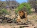 Leeuw | Krugerpark, 21 december 2018