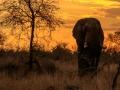Olifant in ondergaande zon   Krugerpark, 21 december 2018