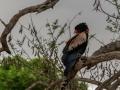 Bateleur | Krugerpark, 22 december 2018