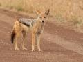 Zadelrugjakhals | Krugerpark, 22 december 2018