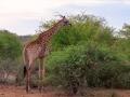 Giraffe | Krugerpark, 22 december 2018