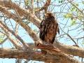 Geelsnavelwouw | Krugerpark, 22 december 2018