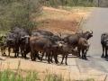 Buffels   Krugerpark, 22 december 2018
