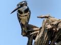 Bonte IJsvogel | Krugerpark, 22 december 2018