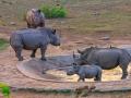 Neushoorns bij waterput  | Krugerpark, 22 december 2018