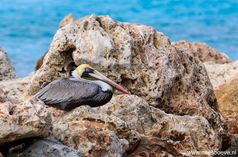 Pelikaan | Draaibooibaai, Curacao, 27 november 2019