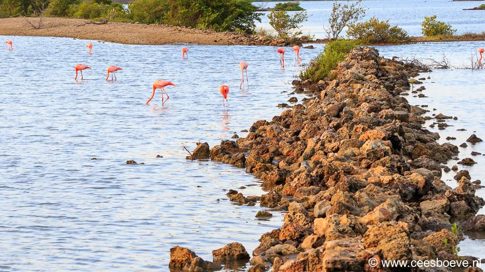 Flamingo's   Zoutpannen Jan Kok, 30 november 2019