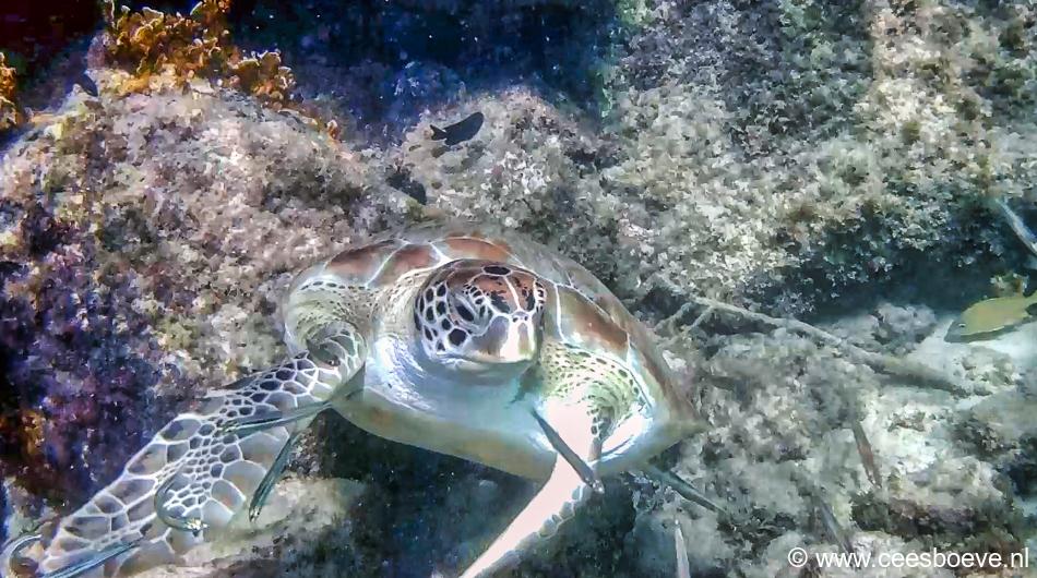 Schildpad | Draaibooi beach, Curacau, 1 december 2019