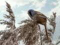 Baardmannetjes | Zevenhuizerplas, 26 januari 2020