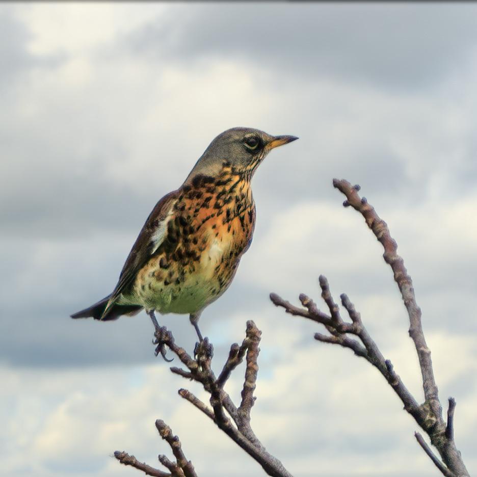 Kramsvogel | Eendrachtspolder, 26 oktober 2020