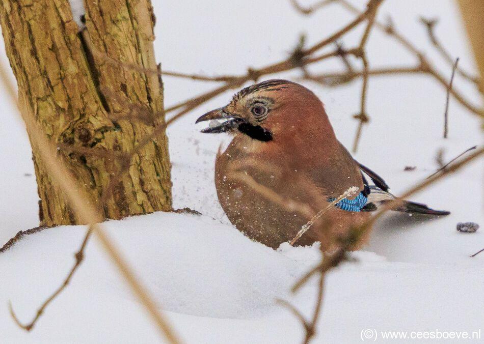 Gaaien in de sneeuw | Zevenhuizerplas, 8 februari 2021