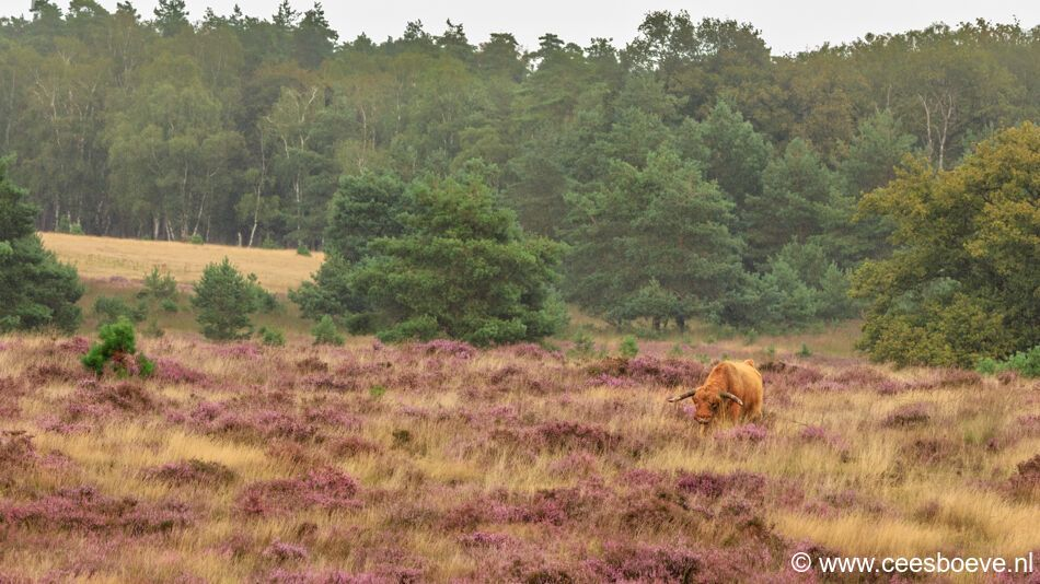 Schotse hooglander | Deelerwoud, 25 augustus 2021