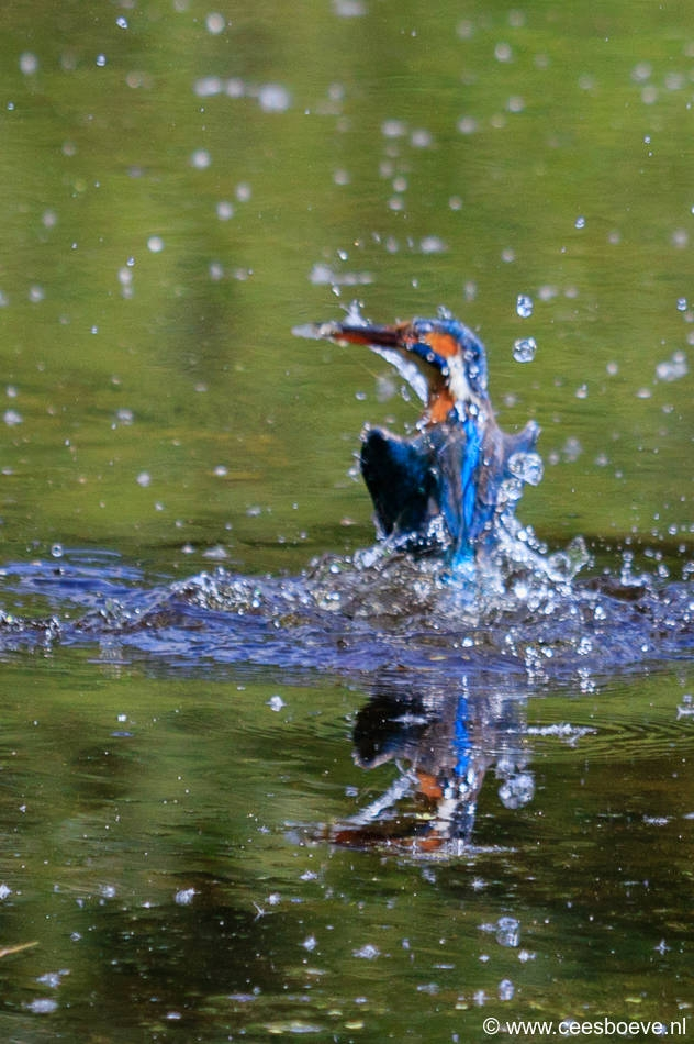 IJsvogels | Prielenbos, 21 juli 2017