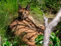 Caracal  | Tenikwa Wildlife Centre, Zuid-Afrika, 28 december 2018