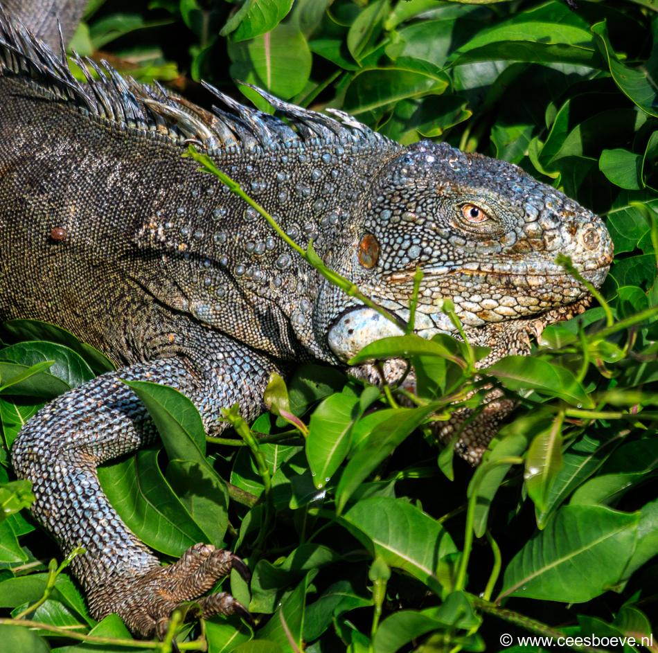 Leguanen | Jan Kok Lodge, Curacau, 14 december 2017