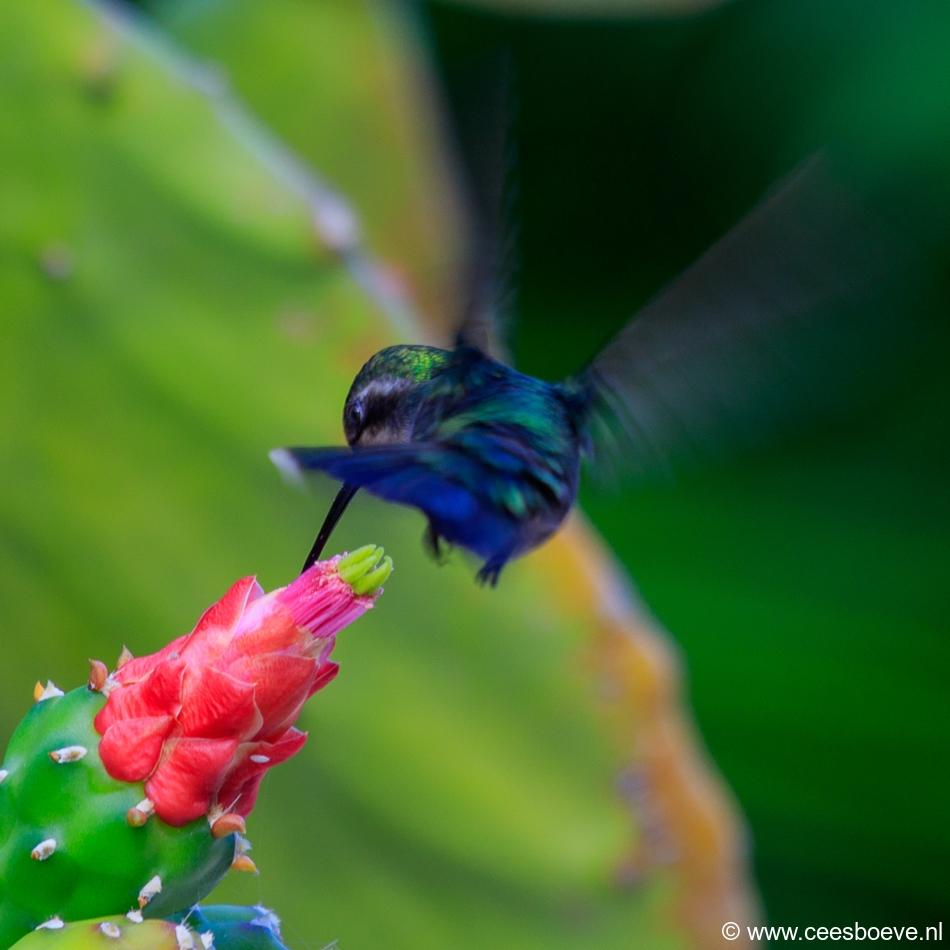 Kolibrie | Jan Kok Lodges, Curacau, 12 december 2017