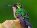 Kolibrie | Jan Kok Lodges, Curacau, 11 december 2017